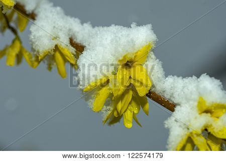 forsythia in the snow