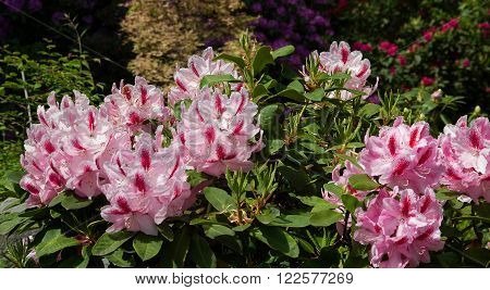 rhododendron bush with mottled pink blossoms in the park