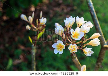Bunch of Plumeria flower against nature background