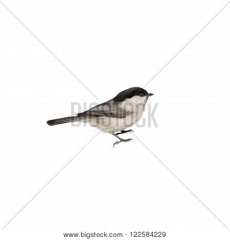chickadee sideways on a white background isolated