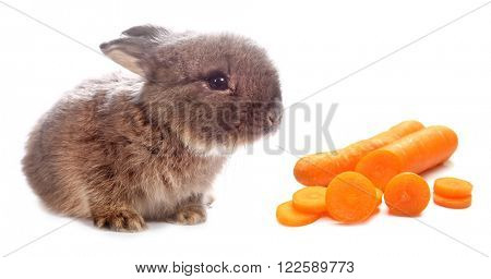Rabbit bunny and his carrot