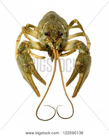Live crayfish close up on a white background
