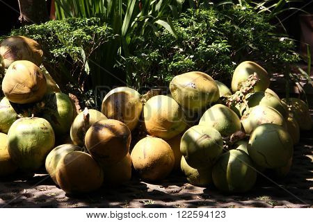 Bunch of big fresh coconuts on the ground in Soma Soma Restoran in Ubud Bali. They are prepared for Tourist's Breakfast.