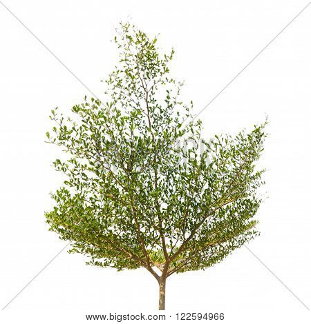 Green tree isolated on a white background