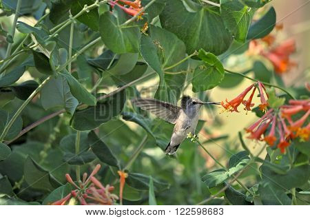 Black-chinned Hummingbird collecting nectar from an orange  Honeysuckle Bloom