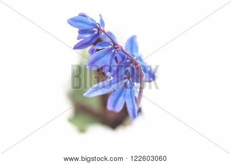 Early spring blue flowers Scilla in white snow