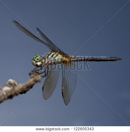 Dragonfly with a green body and eyes on a branch