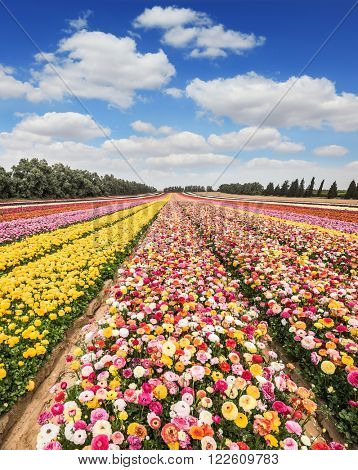 Spring flowering buttercups. The magnificent flower carpet of colorful garden buttercups close to the border. Israeli kibbutz in the south