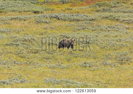 Grizzly Bear in the Tundra of Denali National Park in Alaska