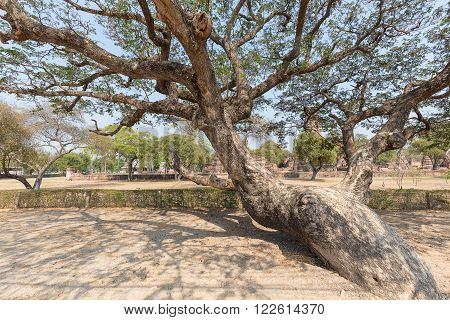 Big old tree with less of leaves having twist trunk outdoor in the park during sunny day