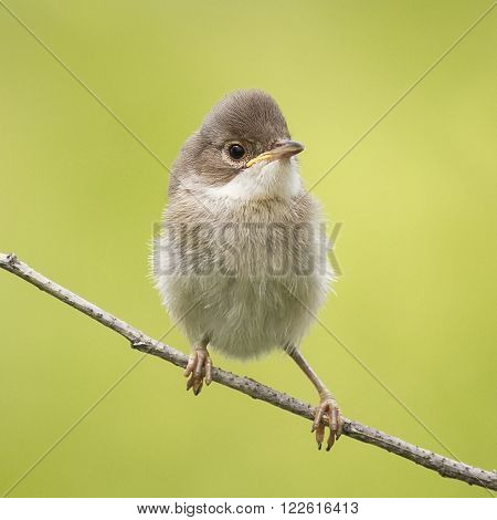 small funny angry baby bird sitting on a branch
