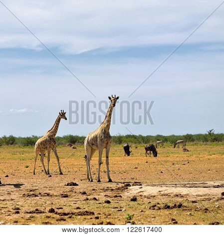 African wildlife young giraffes wildebeest antelopes and zebras on background in Etosha national reserve Namibia