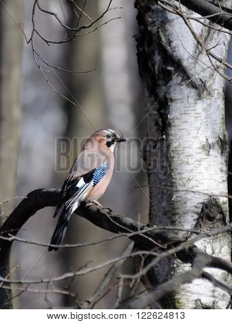 Eurasian jay (Garrulus glandarius) with building material for a nest in spring. Moscow region Russia