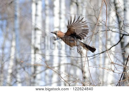 Flying Eurasian jay (Garrulus glandarius) in spring birch forest