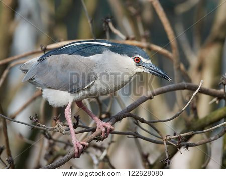 Black-crowned night heron resting on a branch in its habitat