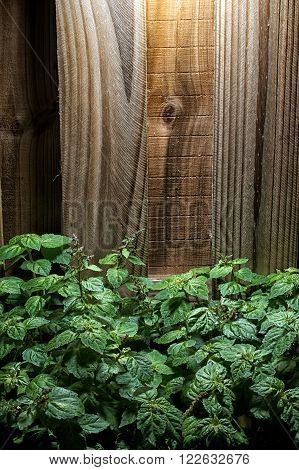 Large Lush Patchouli Plant Against Wood