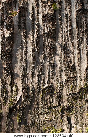 Unfolded tree bark closeup as natural background