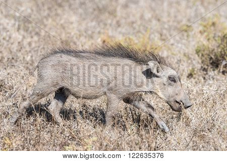 A warthog piglet blends in with the dry grass near Domkrag Dam in South Africa