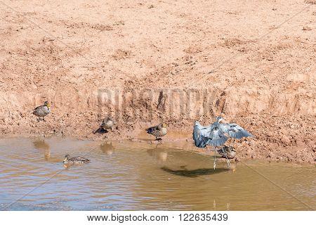 A black-headed heron landing between yellow-billed ducks