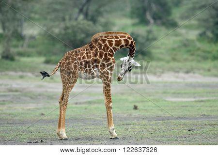 baby giraffe in natural habitat