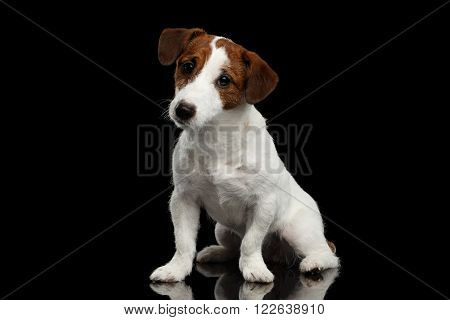 Cute Jack Russell Terrier Puppy Sits on Mirror and Looking in Camera isolated on Black background