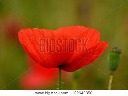 Beautiful red poppy  in foreground with intense color and texture