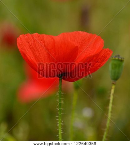 Beautiful red poppy  of intense color
