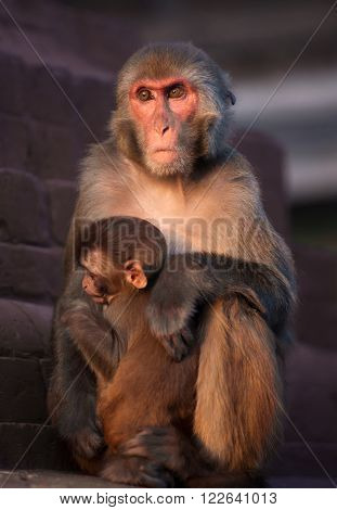 Mother Rhesus Macaque And Its Baby At Sunset