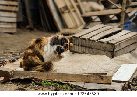 tricolored fluffy cat sharpening his claws on the street countryside