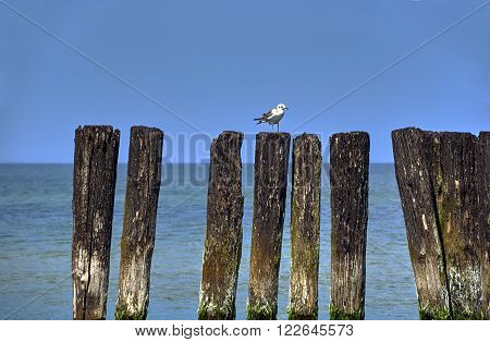 Seagull sitting on old wooden breakwater on the Baltic Sea in Poland
