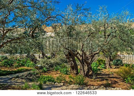 The Gethsemane Garden located at the foot of the Mount of Olives Jerusalem Israel.