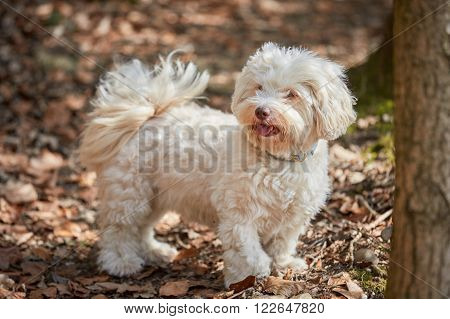 White Havanese Dog Standing In The Forest