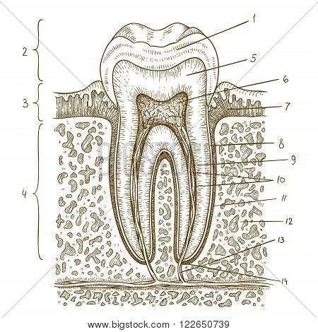 Vector engraving illustration of highly detailed hand drawn human tooth diagram isolated on white background
