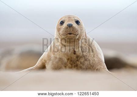 Atlantic Grey Seal Pup (Halichoerus Grypus) on sandy beach