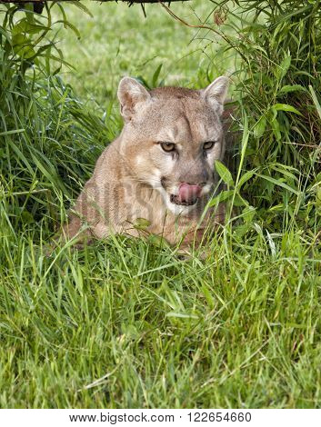 Adult cougar laying in a grassy area and licking his lips