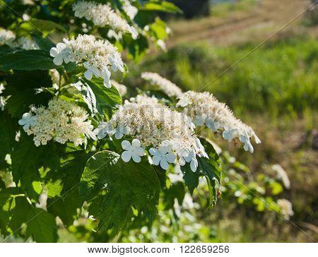 The beautiful White Viburnum flowers in garden