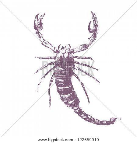 Hand drawn scorpion on white background