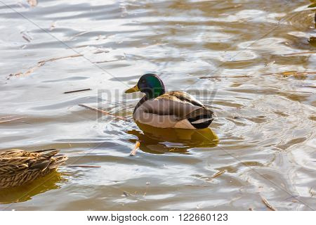 Mallard ducks photographed in city park. Wild ducks living near water.