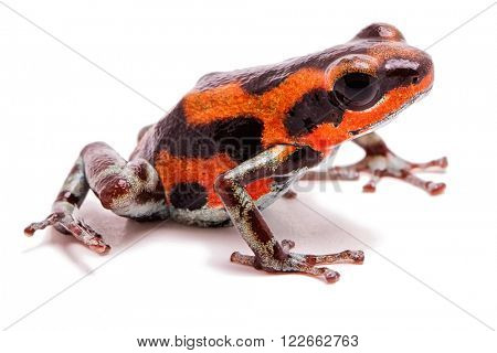 Strawberry poison dart frog from tropical rain forest in Panama, Bocas del Toro Red frog beach. A beautifyl small rainforest animal, Oophaga pumilio. Isolated on white.