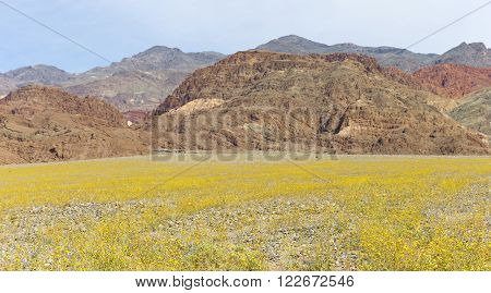A rare view of the dearest covered by millions of yellow flowers during the 2016 Super-bloom inside Death Valley National Park.