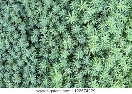 Close up of succulent(sedum) plant background