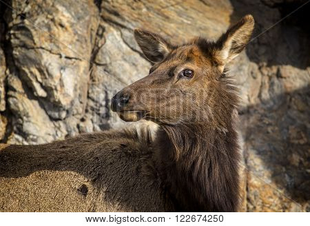 Close up image of an Elk in Rocky Mountain National Park, Colorado, USA.