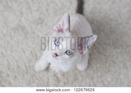Devon-rex Kitten