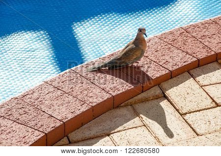 Brown slender-billed cuckoo dove standing on a pool edge brick surface with a blue bubble pool cover in the background.
