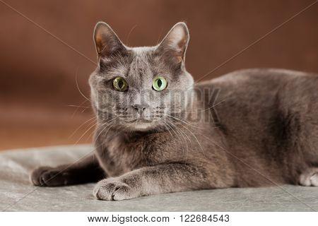 Russian Blue Cat, Studio Shot