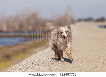 Australian Shepherd dog runs along a marsh on Cape Cod in Massachusetts in summer