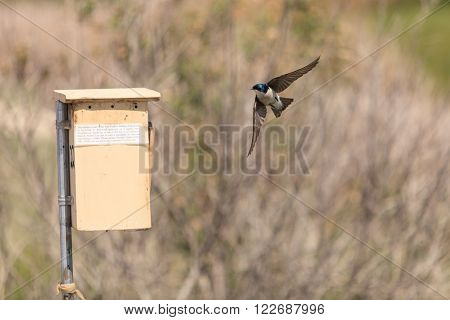 Blue Tree swallow bird, Tachycineta bicolor, sits on a nesting box in San Joaquin wildlife sanctuary, Southern California, United States