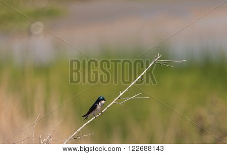 Blue Tree swallow bird, Tachycineta bicolor, sits on a nesting box in San Joaquin wildlife sanctuary, Southern California, United States
