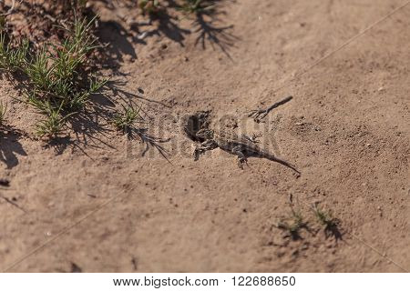 Brown common fence lizard, Sceloporus occidentalis, perches on the edge of a burrow in the sand.