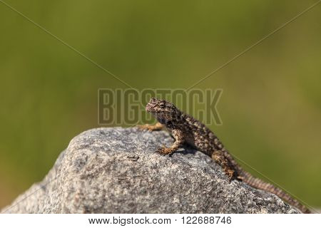 Brown common fence lizard, Sceloporus occidentalis, perches on a rock with a green background.